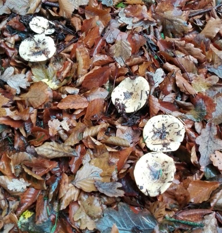 Ferskengul Skørhat (Russula violeipes)