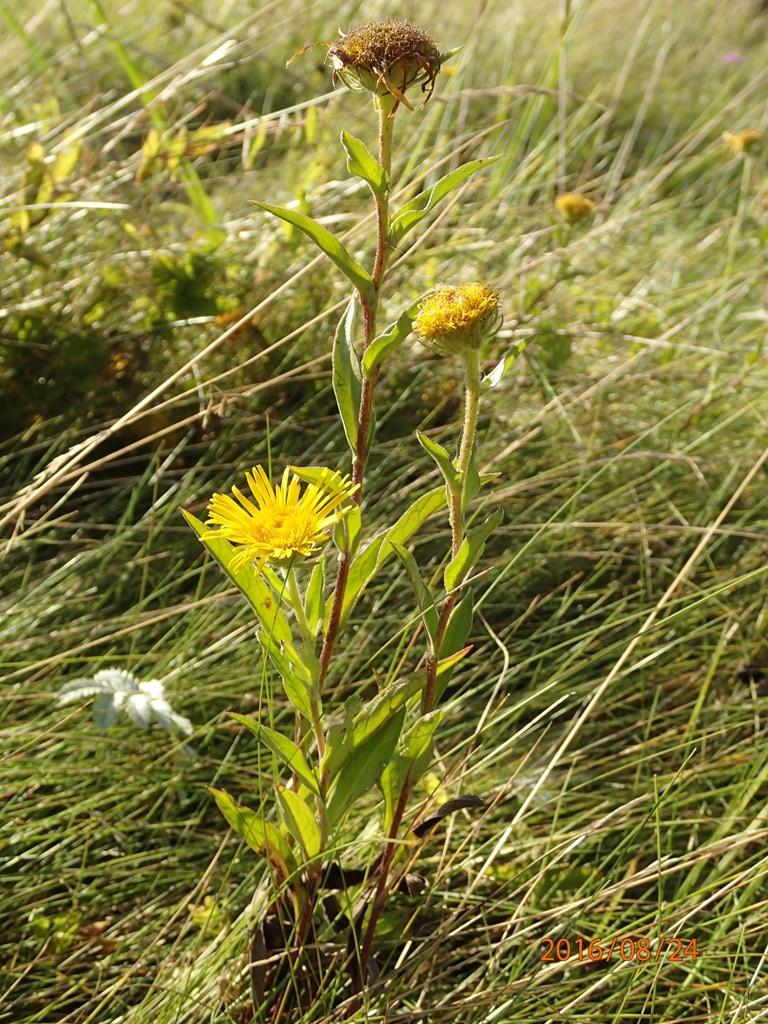 Soløje-Alant (Inula britannica)
