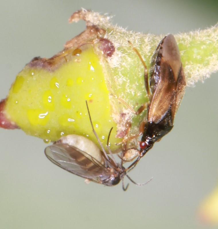 Foto/billede af Orius sp. (Orius sp.)