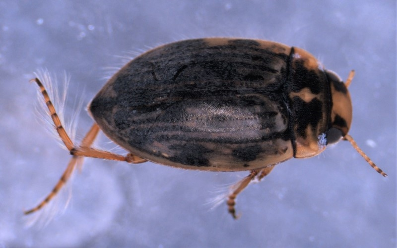 Scarodytes halensis (Scarodytes halensis)