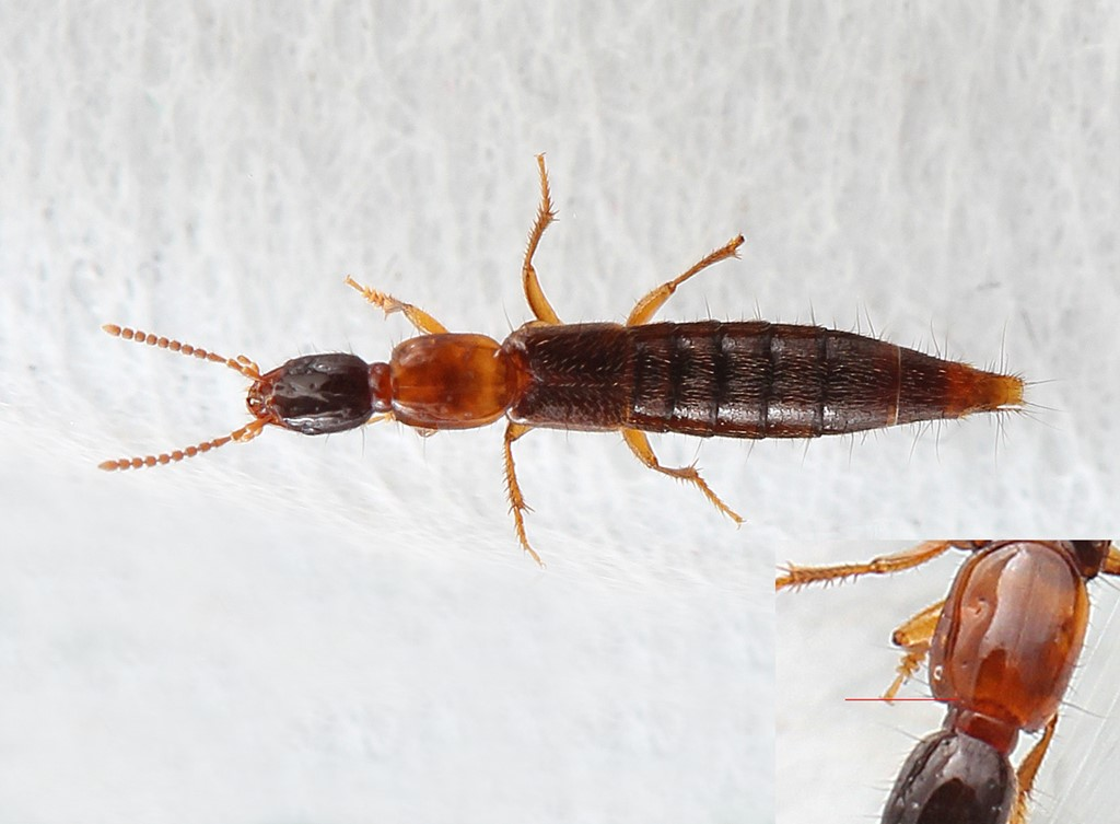 Othius angustus