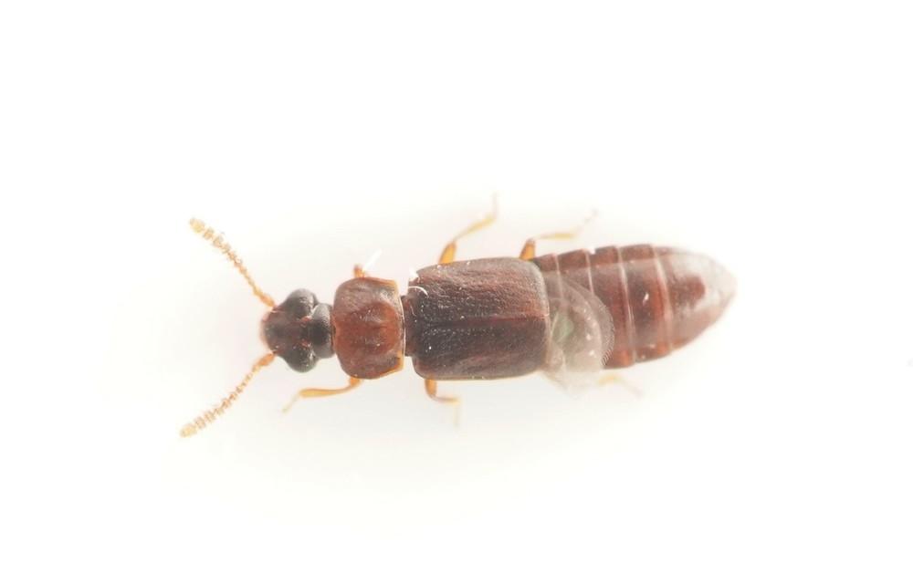 Phloeonomus punctipennnis
