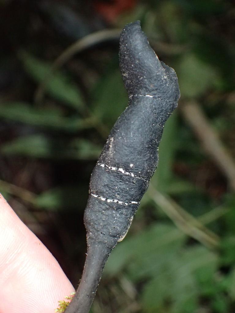 Foto/billede af Slank Stødsvamp (Xylaria longipes)