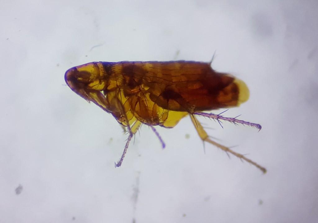 Ctenophthalmus bisoctodentatus (Ctenophthalmus bisoctodentatus)