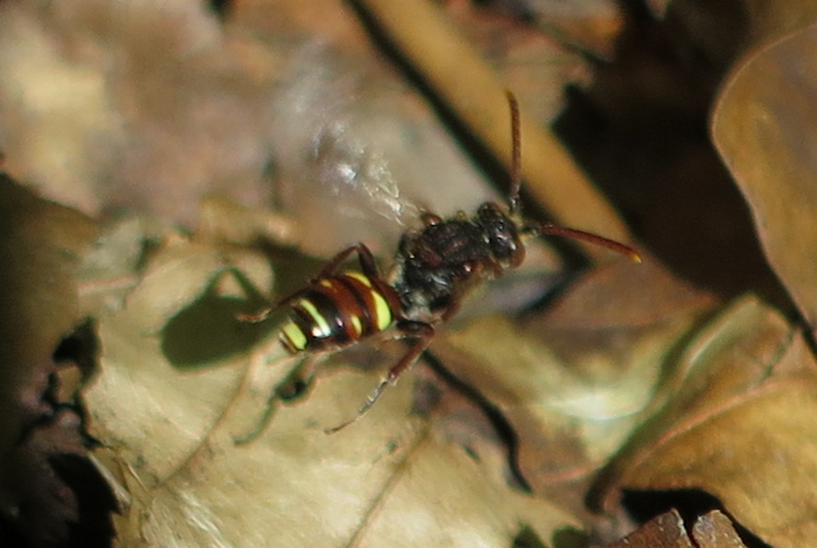 Foto/billede af Nomada ruficornis (Nomada ruficornis)