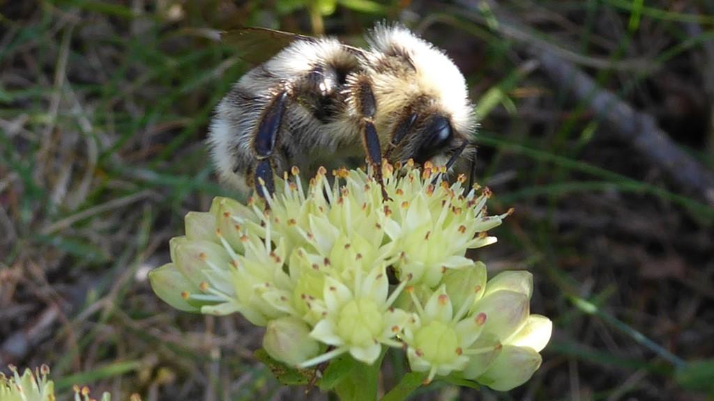 Foto/billede af Lys Jordhumle (Bombus lucorum)