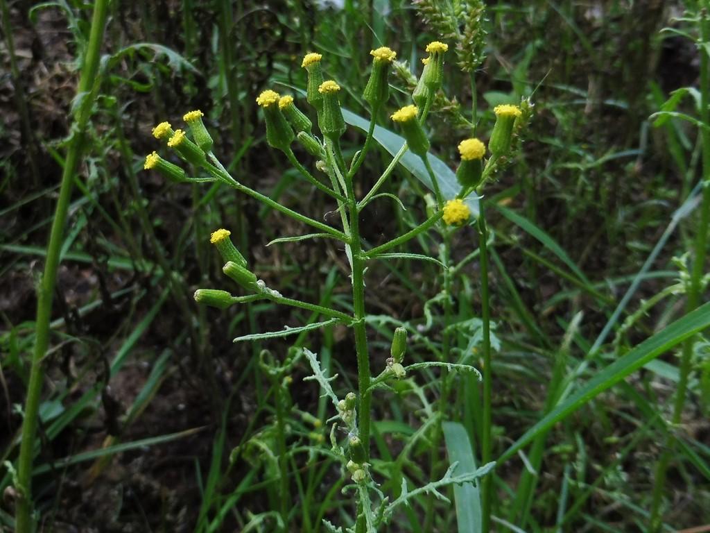 Foto/billede af Skov-Brandbæger (Senecio sylvaticus)