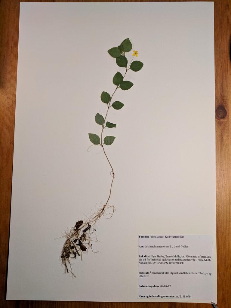 Foto/billede af Lund-Fredløs (Lysimachia nemorum)