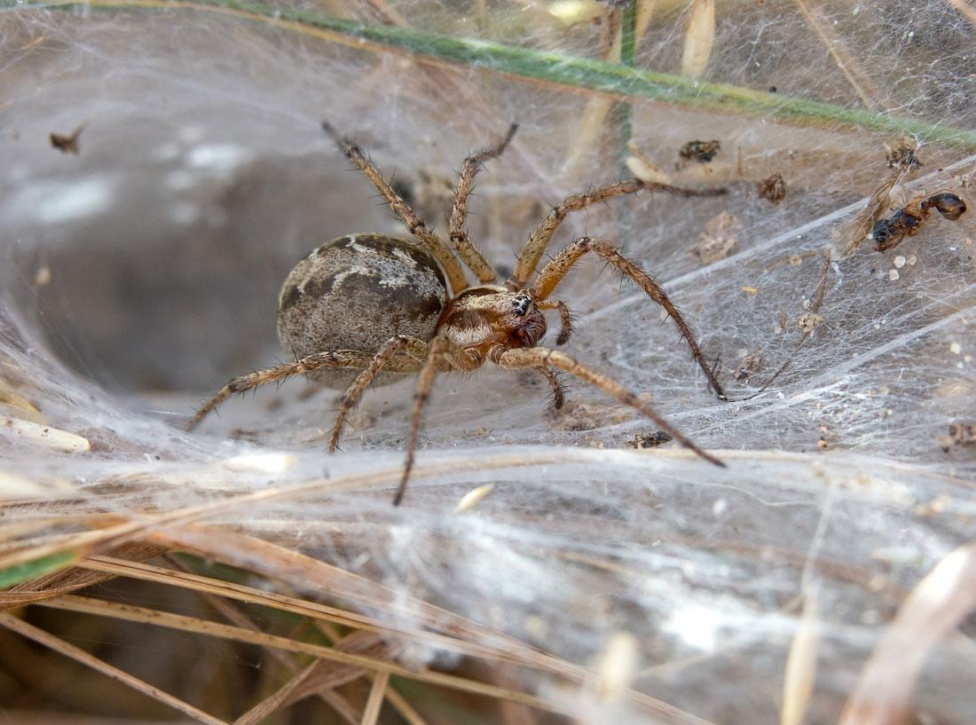 Foto/billede af Labyrintedderkop (Agelena labyrinthica)