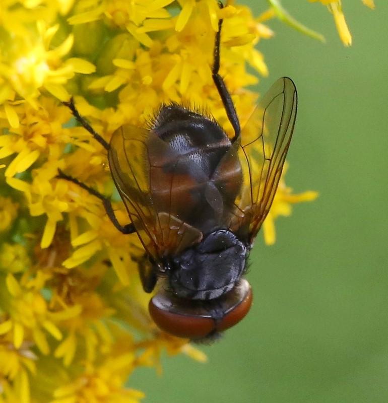 Foto/billede af Gylden Pragtsnylteflue (Phasia aurigera)