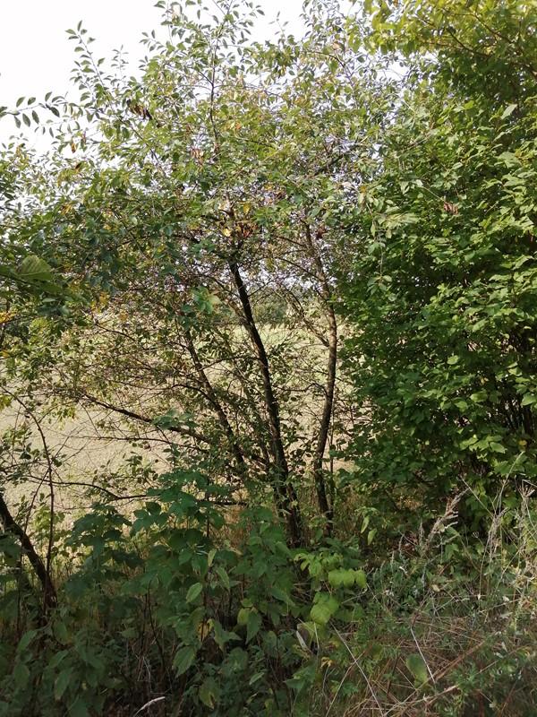 Sur-Kirsebær (Prunus cerasus)