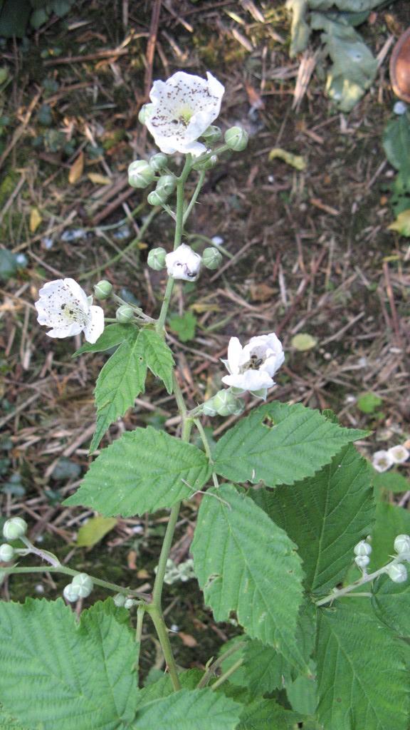 Foto/billede af Opret Brombær (Rubus nessensis)