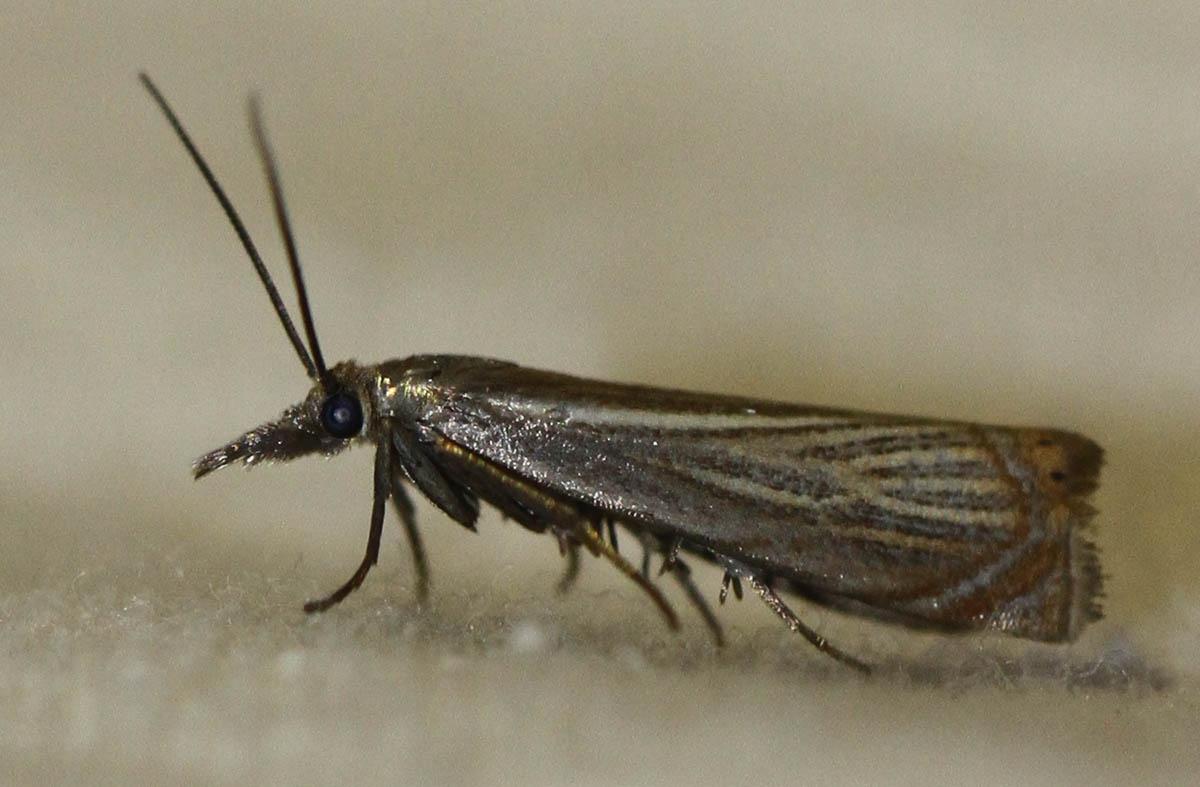 Foto/billede af Have-Græsmøl (Chrysoteuchia culmella)