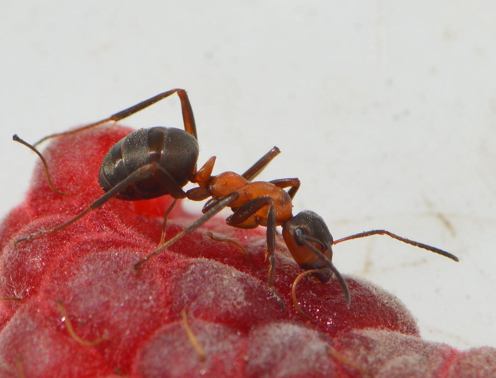 Foto/billede af R�d skovmyre (Formica rufa)