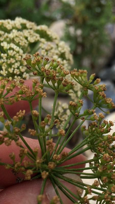 Foto/billede af Almindelig Pimpinelle (Pimpinella saxifraga)