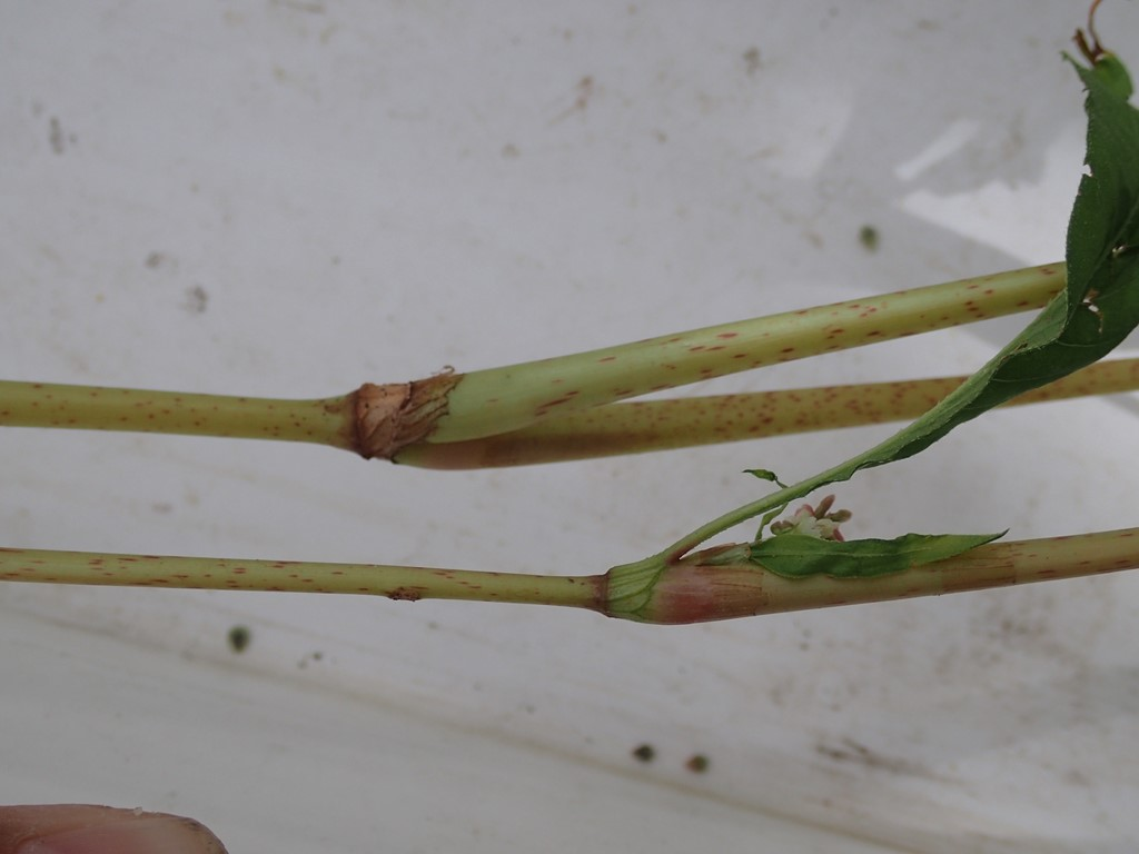 Foto/billede af Knudet Pileurt (Persicaria lapathifolia ssp. lapathifolia)
