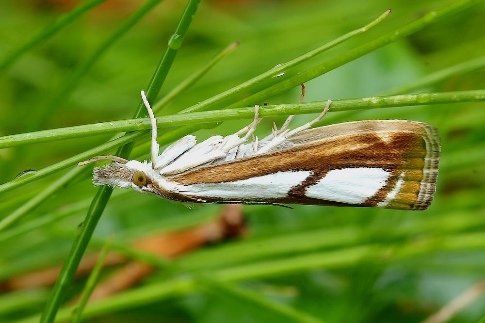 Catoptria osthelderi