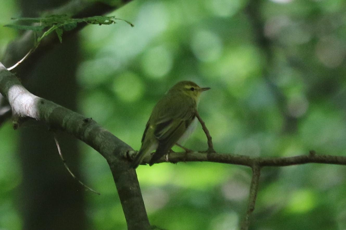 Foto/billede af Skovsanger (Phylloscopus sibilatrix)