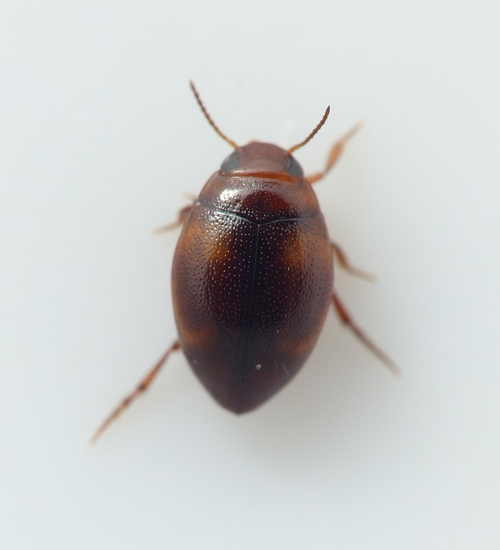 Clemnius decoratus