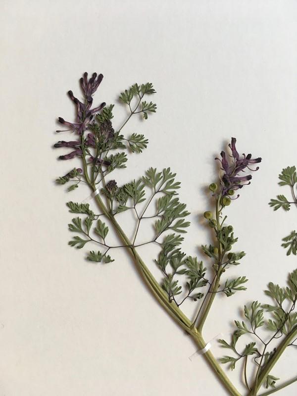 Foto/billede af Læge-Jordrøg (Fumaria officinalis)