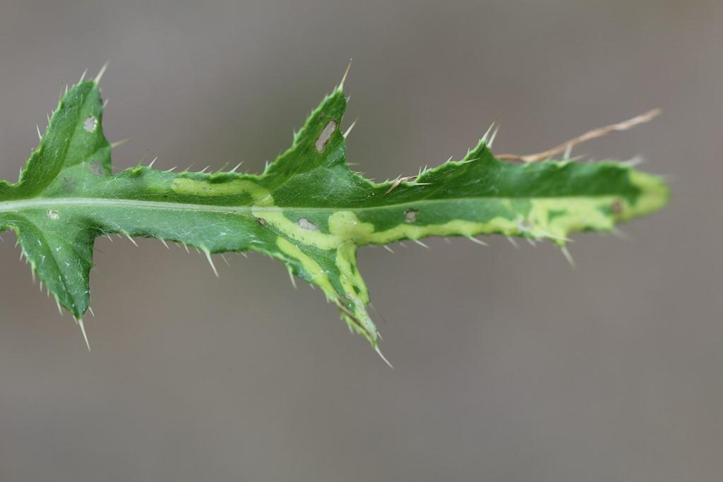 Phytomyza spinaciae