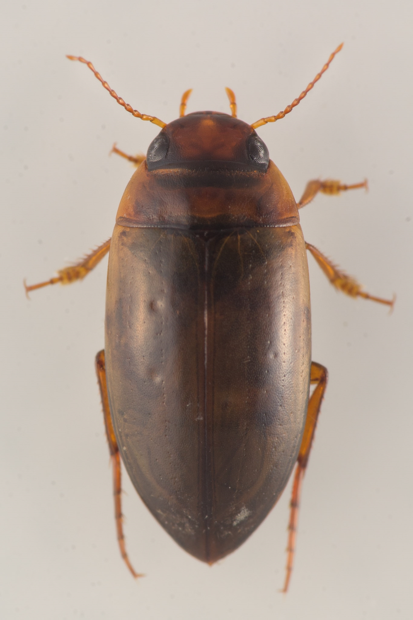 Liopterus haemorrhoidalis (Liopterus haemorrhoidalis)