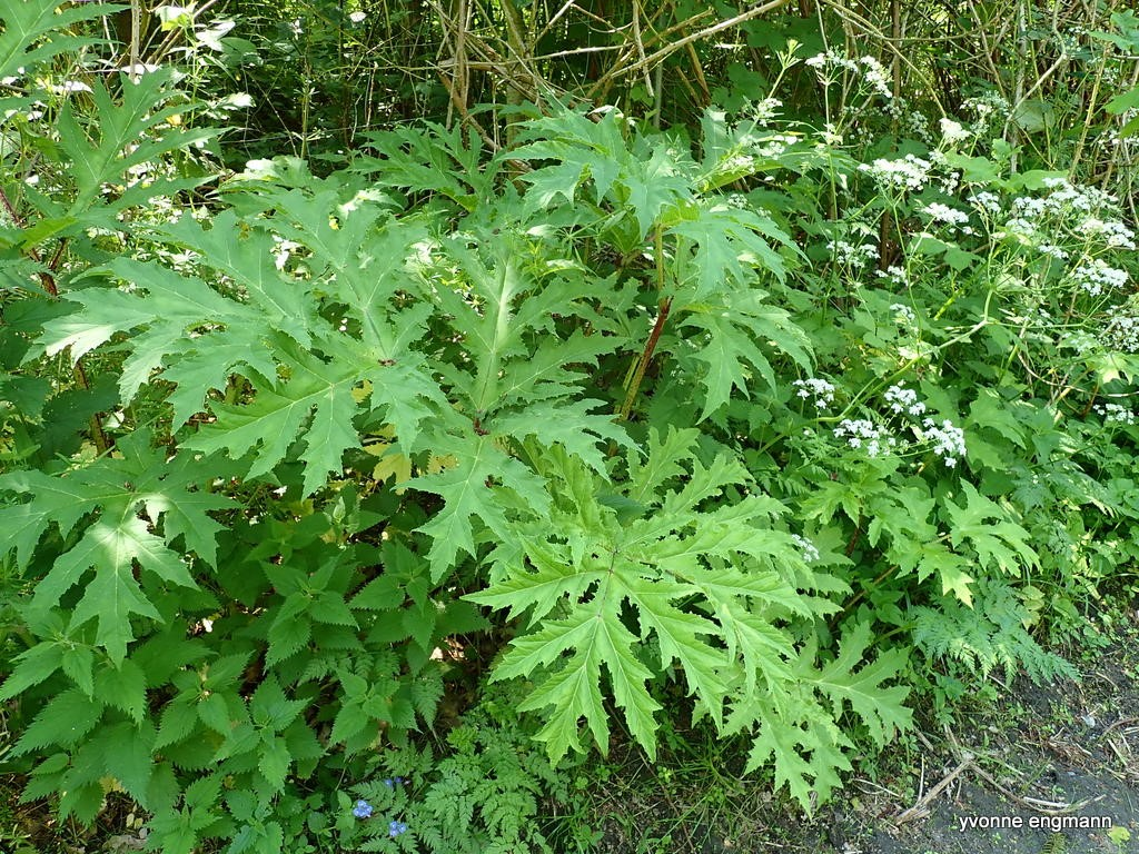 Kæmpe-Bjørneklo (Heracleum mantegazzianum)