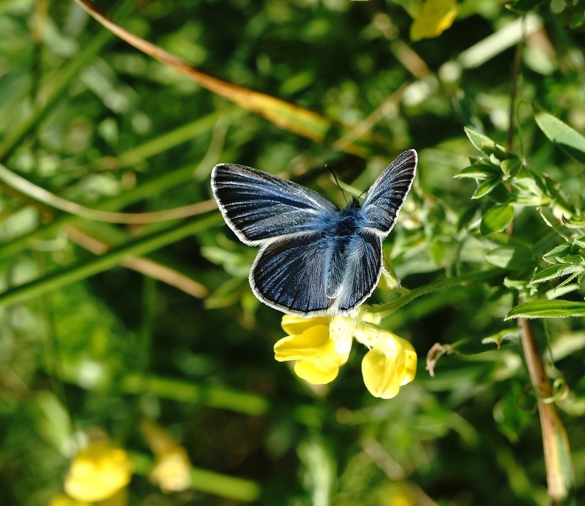 Isblåfugl (Polyommatus amandus)