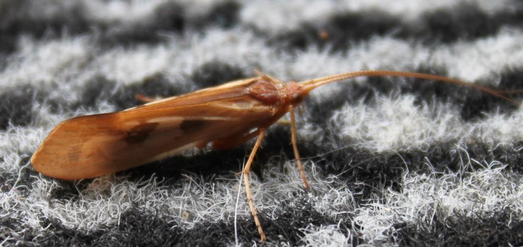 Foto/billede af Limnephilus rhombicus (Limnephilus rhombicus)