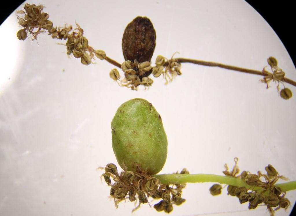 Andricus quadrilineatus