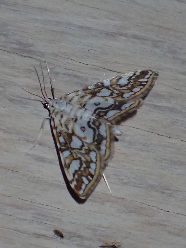 Åkandehalvmøl (Elophila nymphaeata)