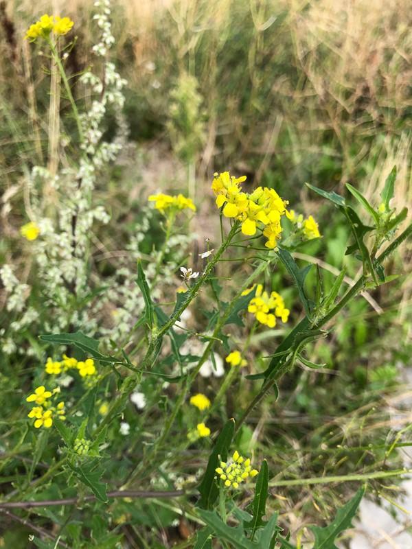 Foto/billede af Stivhåret Vejsennep (Sisymbrium loeselii)
