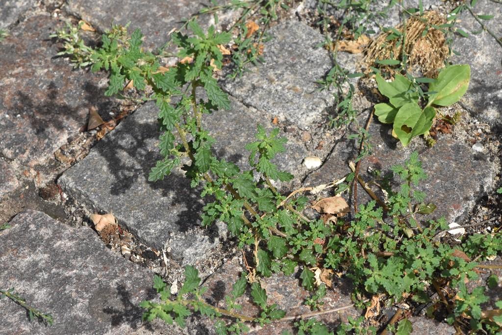 Foto/billede af Dværg-Gåsefod (Chenopodium pumilio)