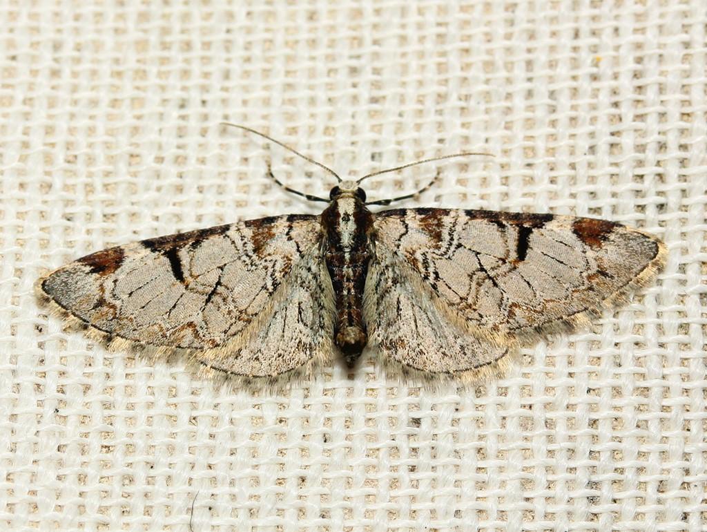 Foto/billede af Æbledværgmåler (Eupithecia insigniata)