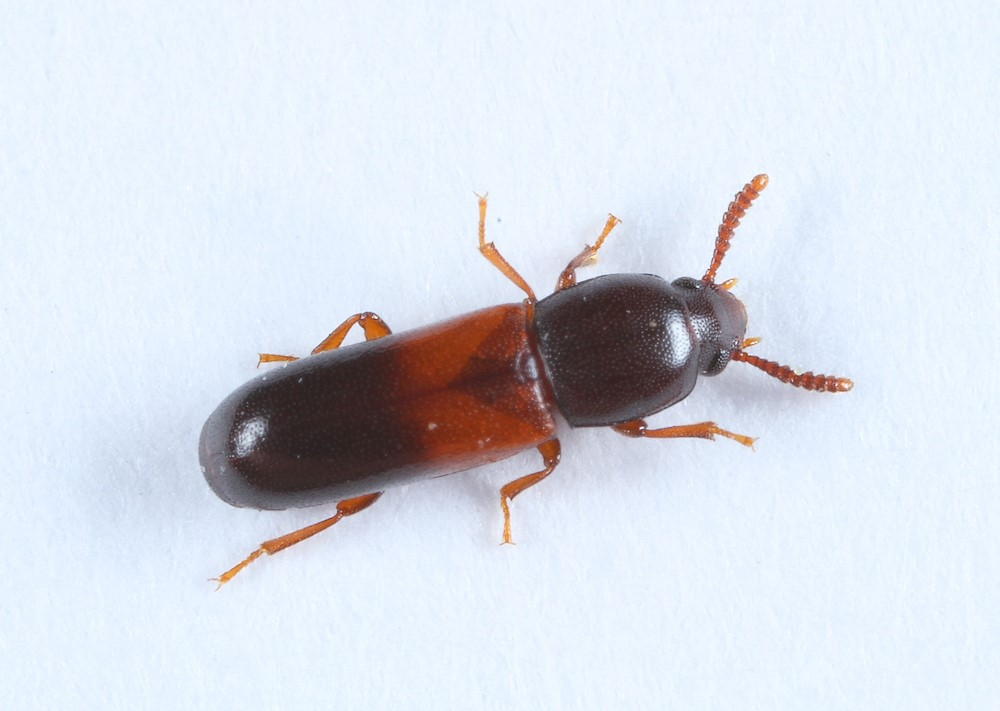 Corticeus fasciatus