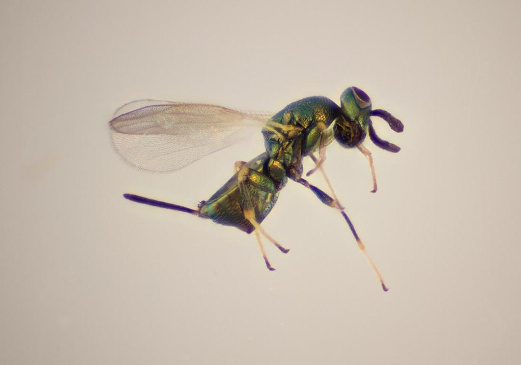 Idiomacromerus papaveris (Idiomacromerus papaveris)