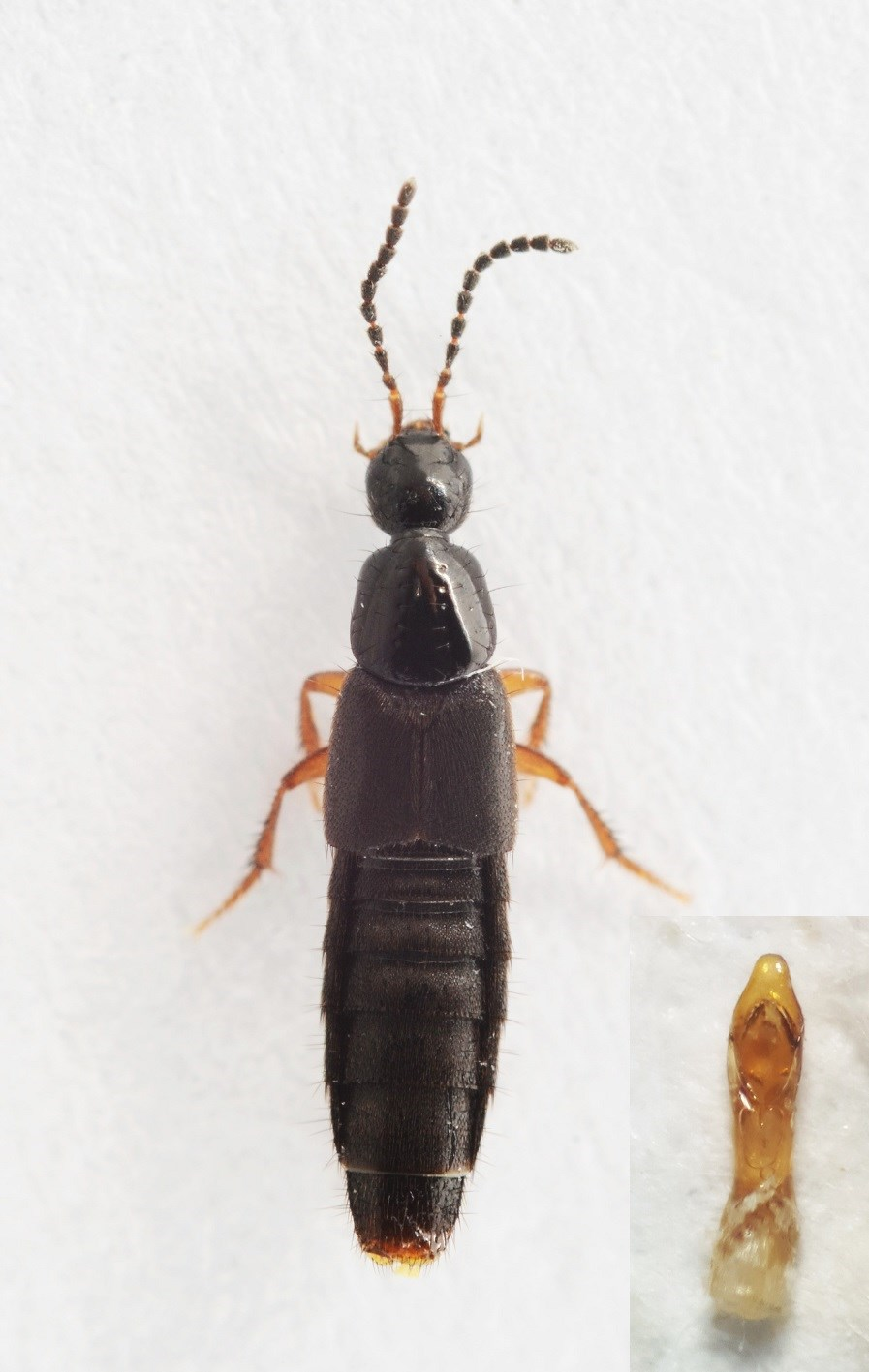 Philonthus micantoides