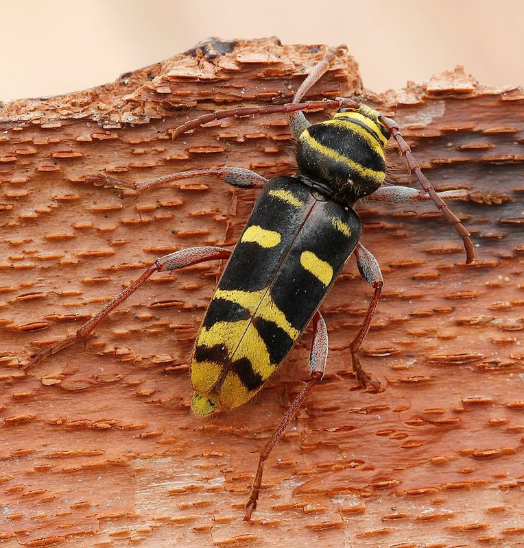 Foto/billede af Urskovshvepsebuk (Plagionotus detritus)