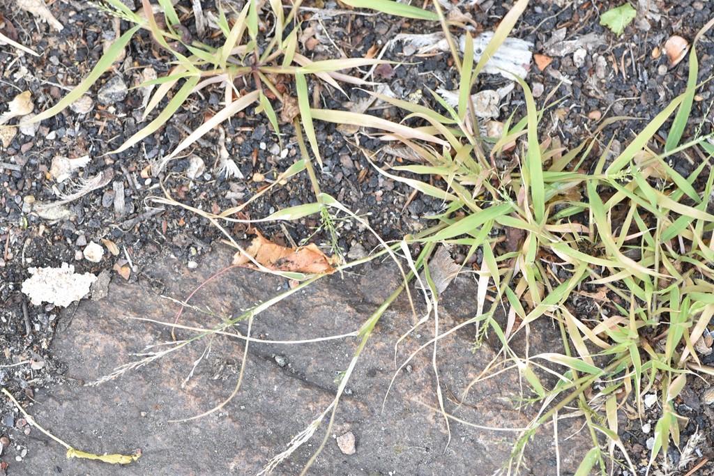 Liden Kærlighedsgræs (Eragrostis minor)
