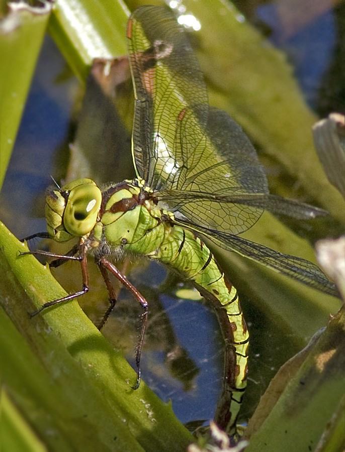 Grøn Mosaikguldsmed (Aeshna viridis)
