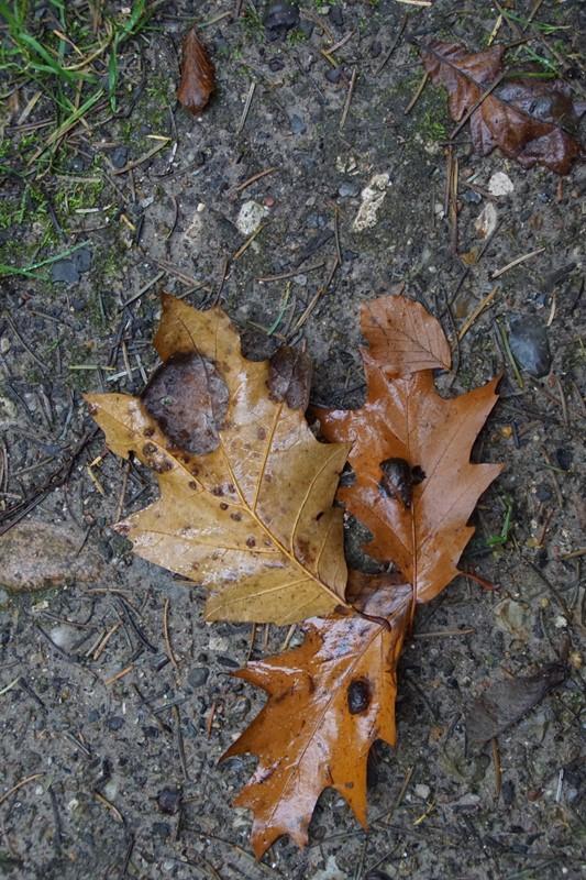 Taphrina caerulescens