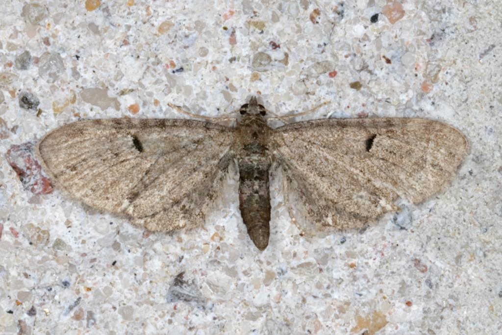 Foto/billede af Humledværgmåler (Eupithecia assimilata)