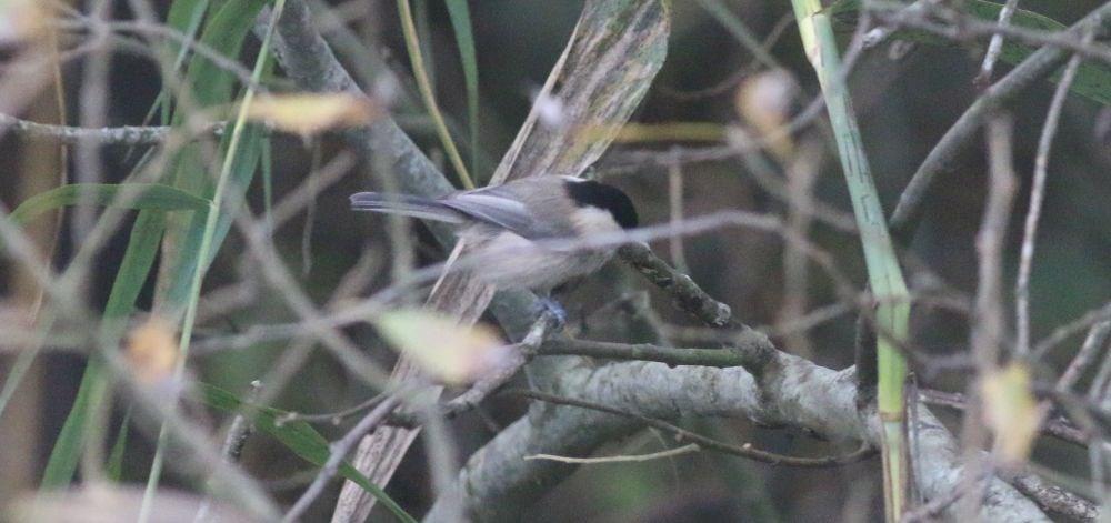 Foto/billede af Fyrremejse (Poecile montana)