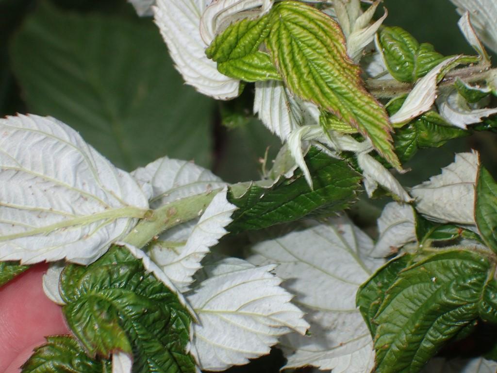 Lille Hindbærbladlus
