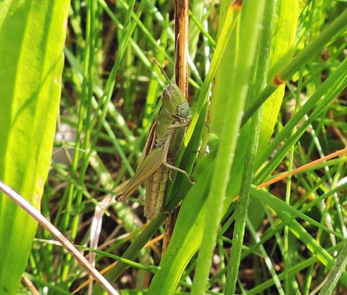 Foto/billede af Strandengsgræshoppe (Chorthippus albomarginatus)