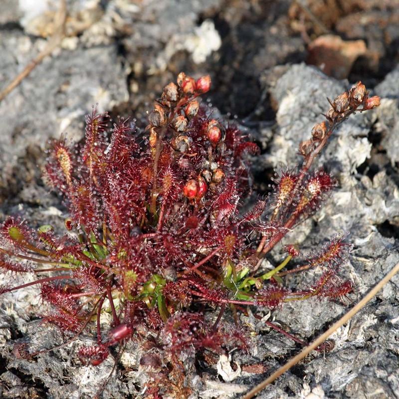 Foto/billede af Liden Soldug (Drosera intermedia)