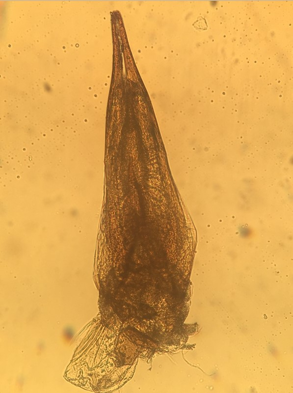 Tachyporus chrysomelinus