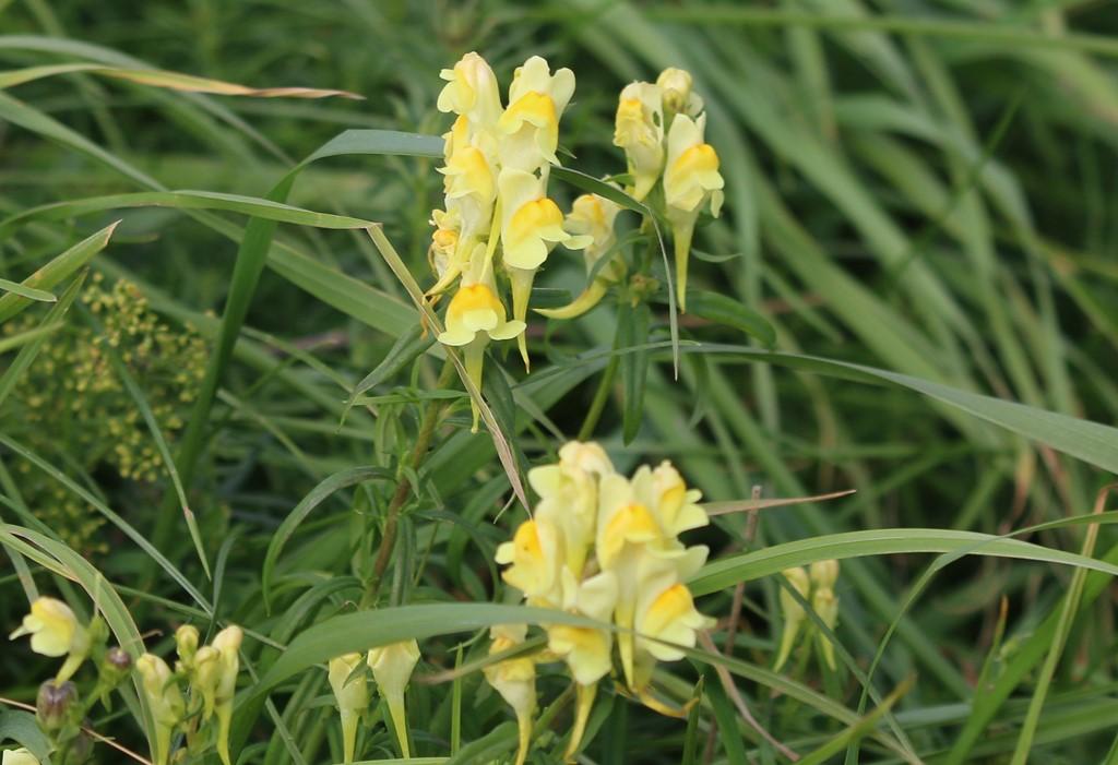 Foto/billede af Almindelig Torskemund (Linaria vulgaris)