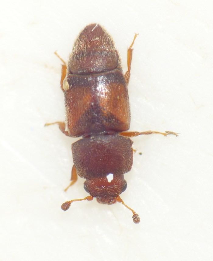 Carpophilus truncatus
