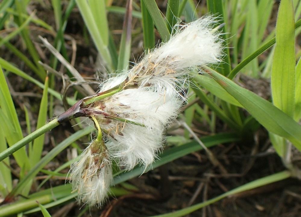 Smalbladet Kæruld (Eriophorum angustifolium)